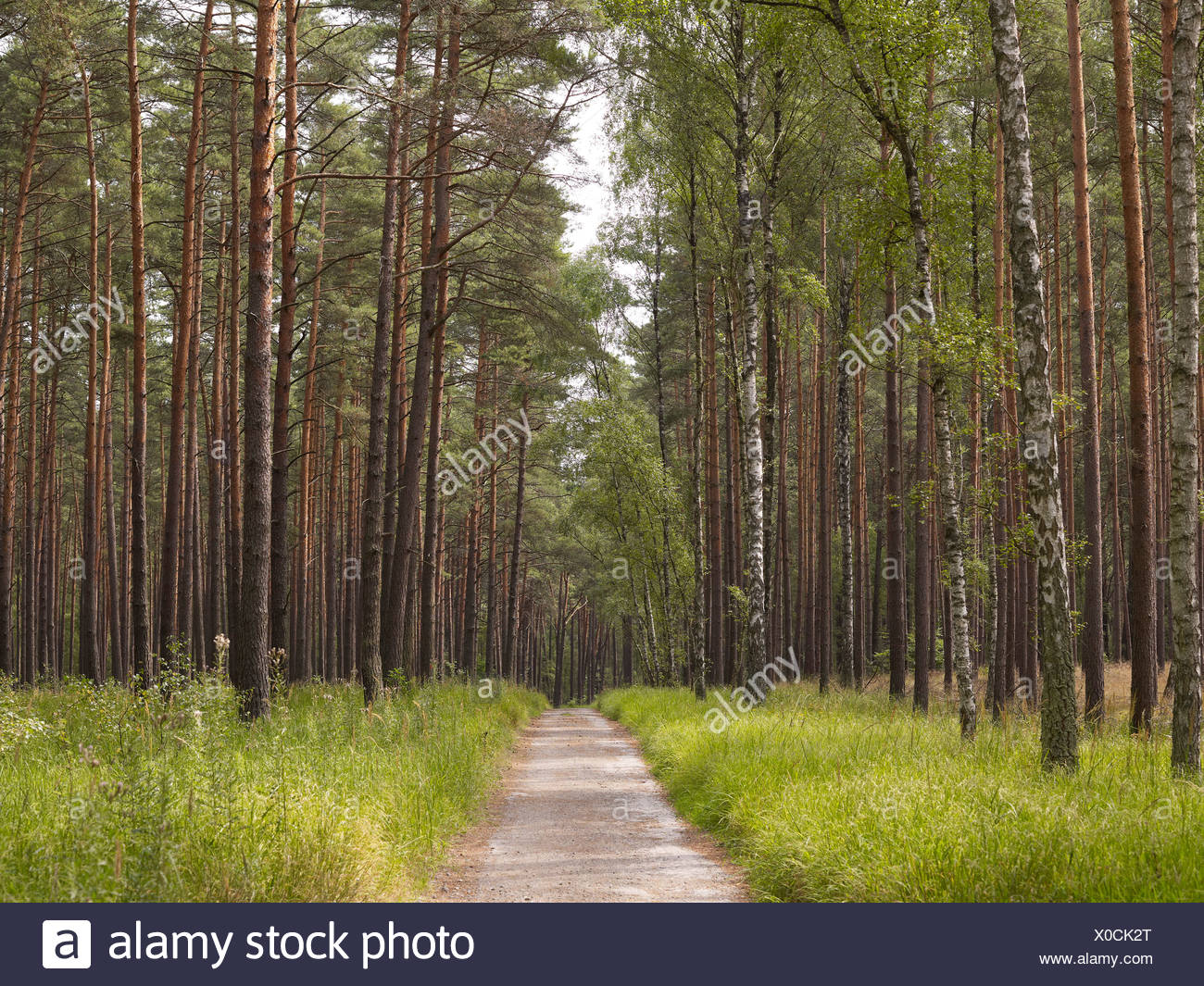 Woodland with conifers and birch trees, Mueritz National Park, Mecklenburg Lake District, Mecklenburg-Western Pomerania - Stock Image