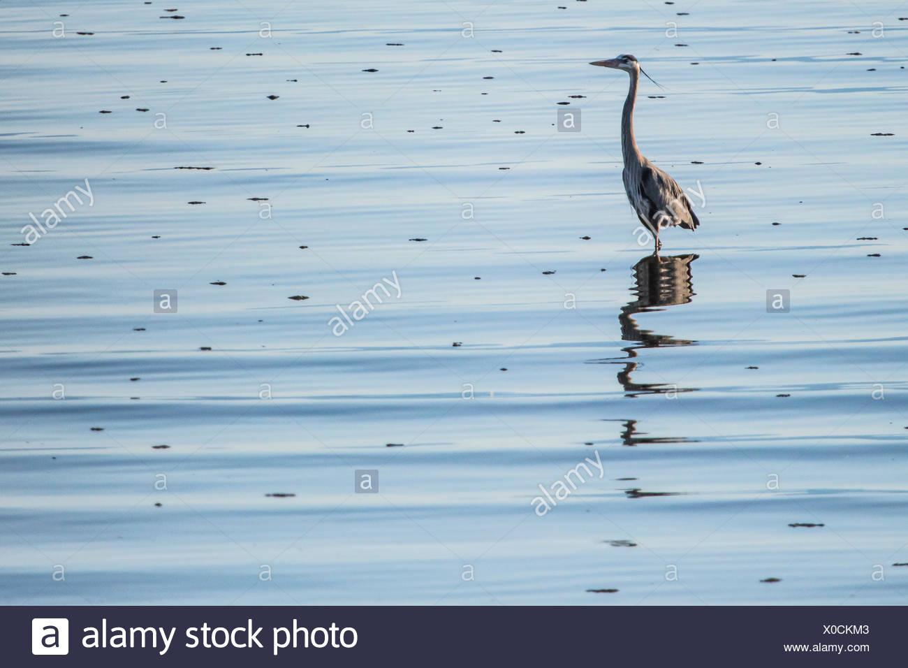 A Great Blue Heron, Ardea herodias, in the shallows in the Salton Sea in Southern California. Stock Photo