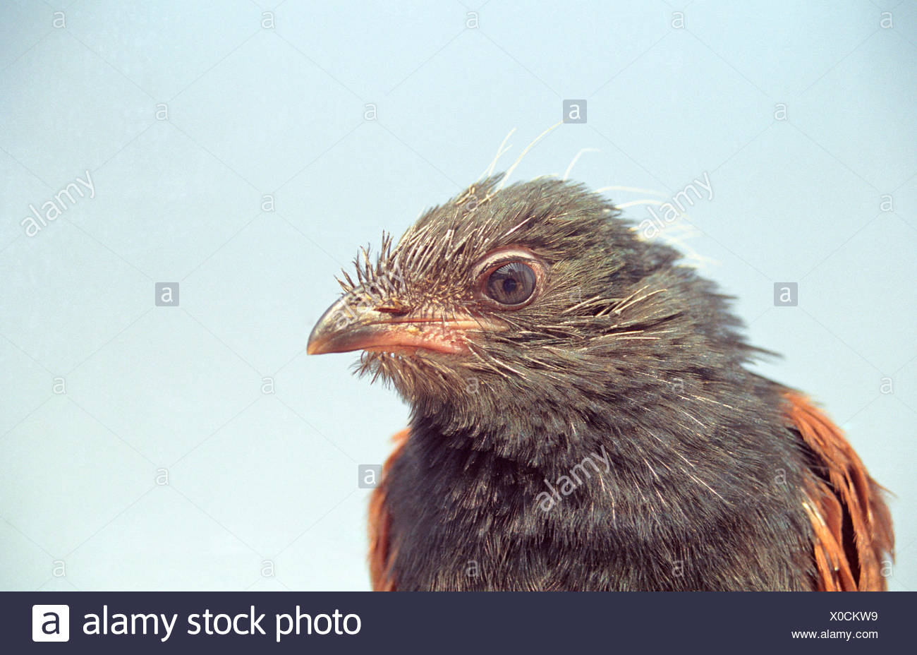 The greater coucal or crow pheasant , Centropus sinensis, Captive, India - Stock Image