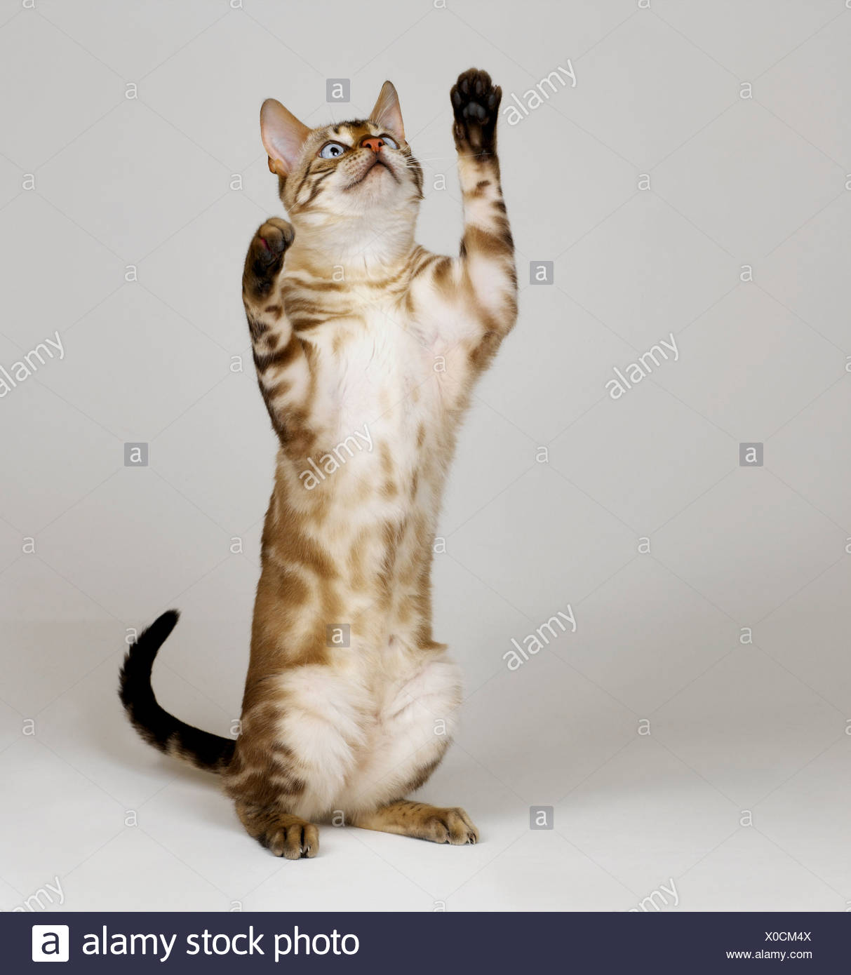 Bengal Blue Eyed Snow on hind legs - Stock Image