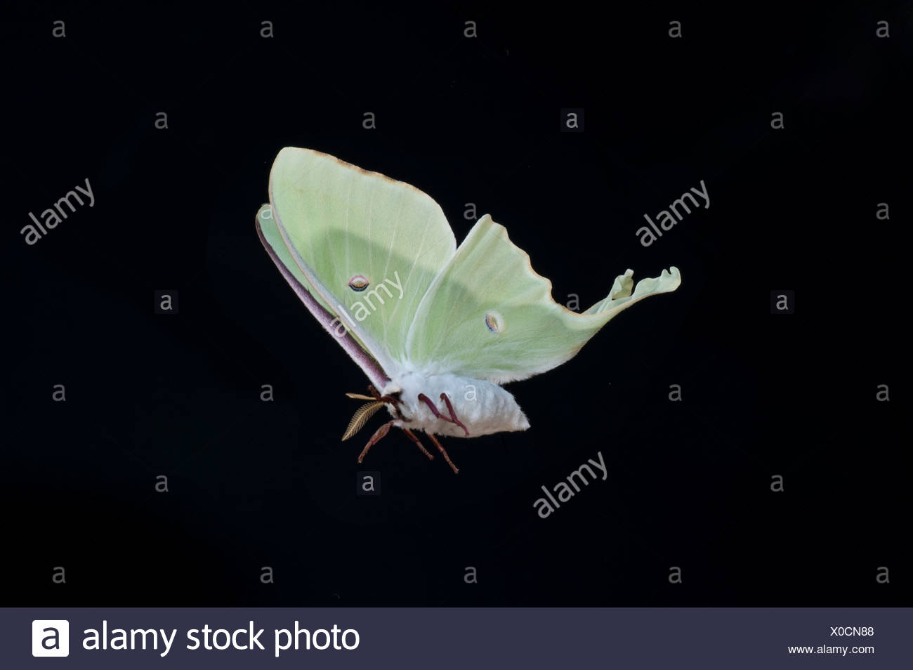 American Moon Moth  Actias luna USA in flight flying high speed photographic technique - Stock Image