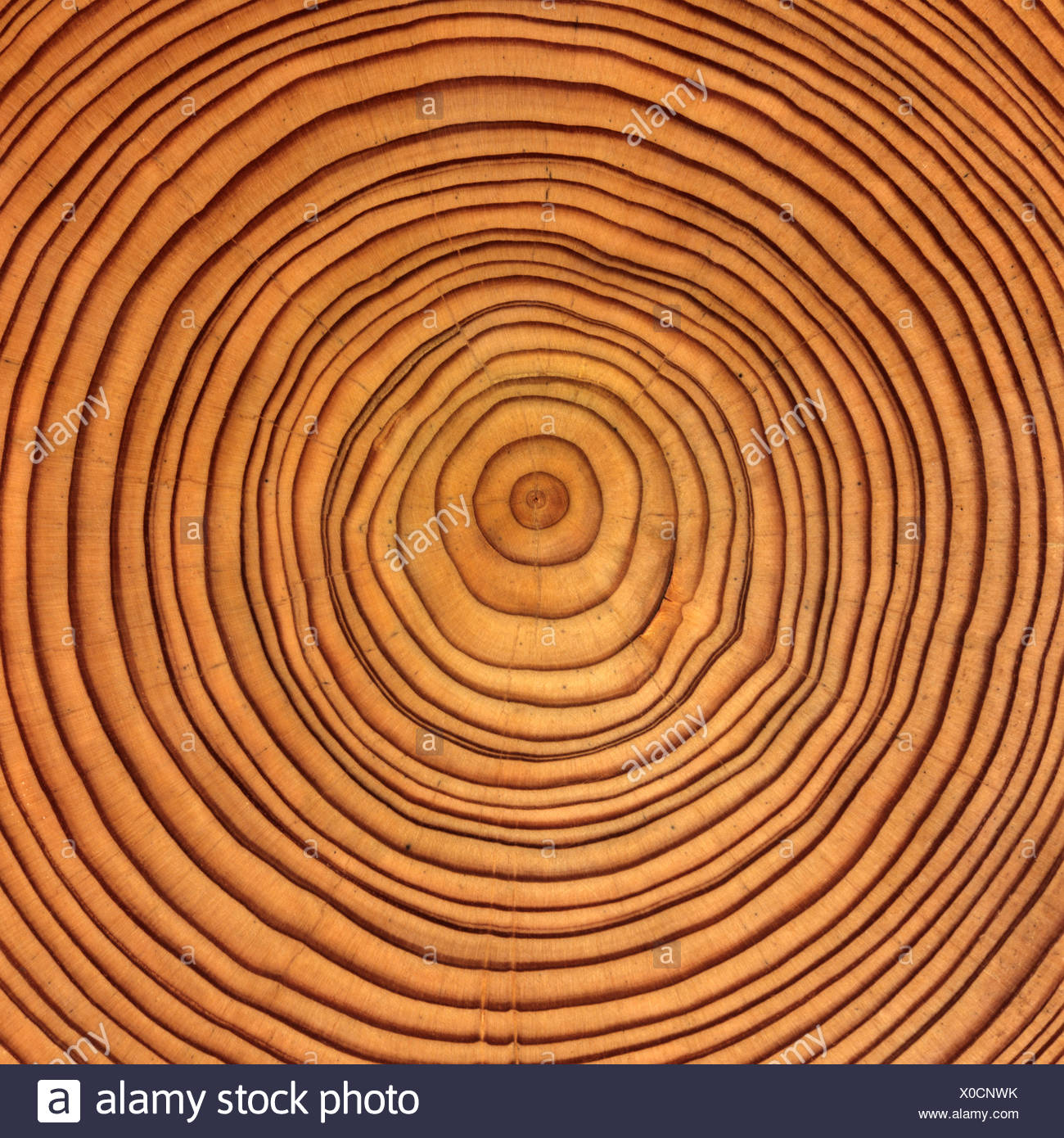 Larch (Larix) tree trunk cross-section: tree rings - Stock Image