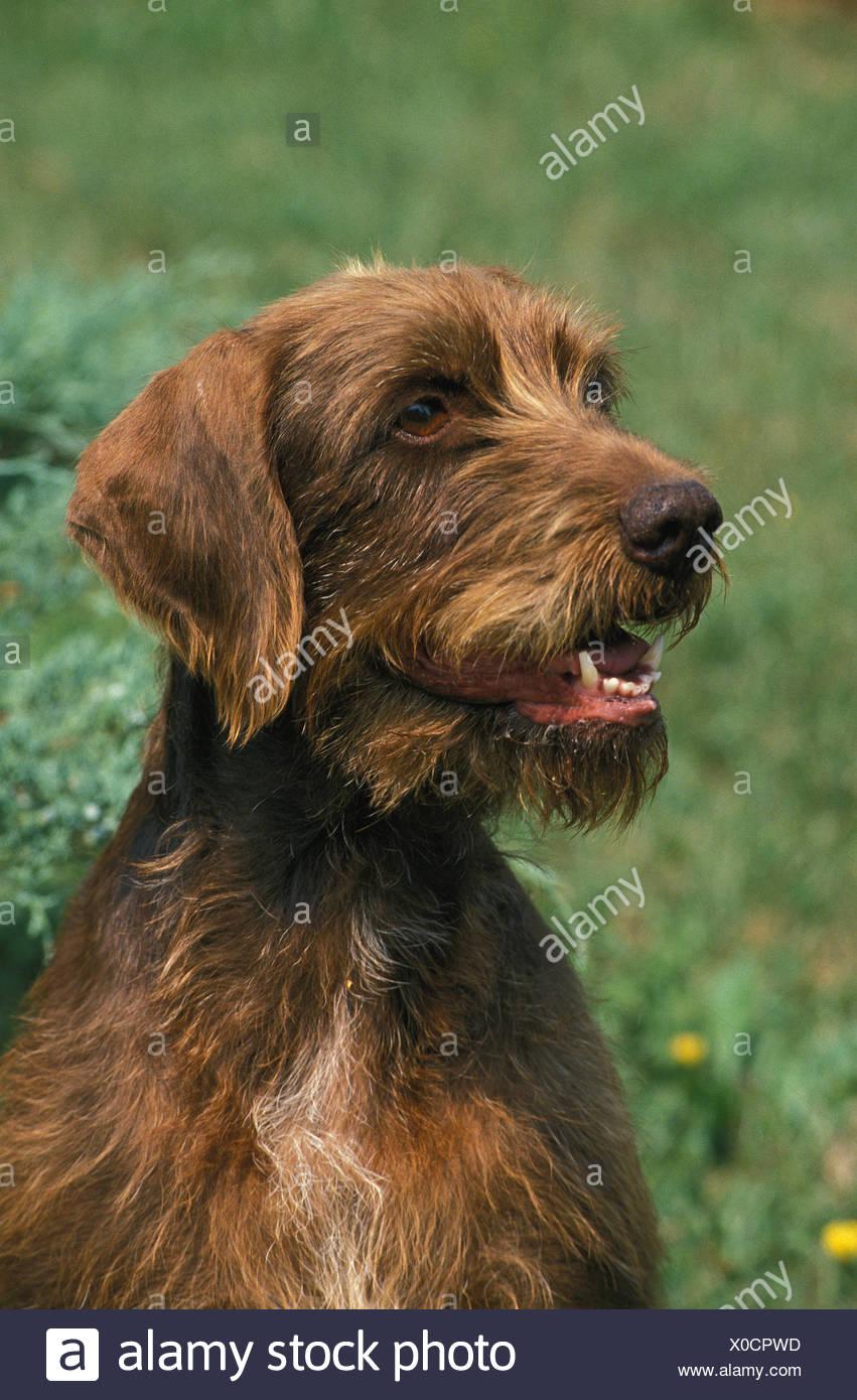Poodle Pointer Dog