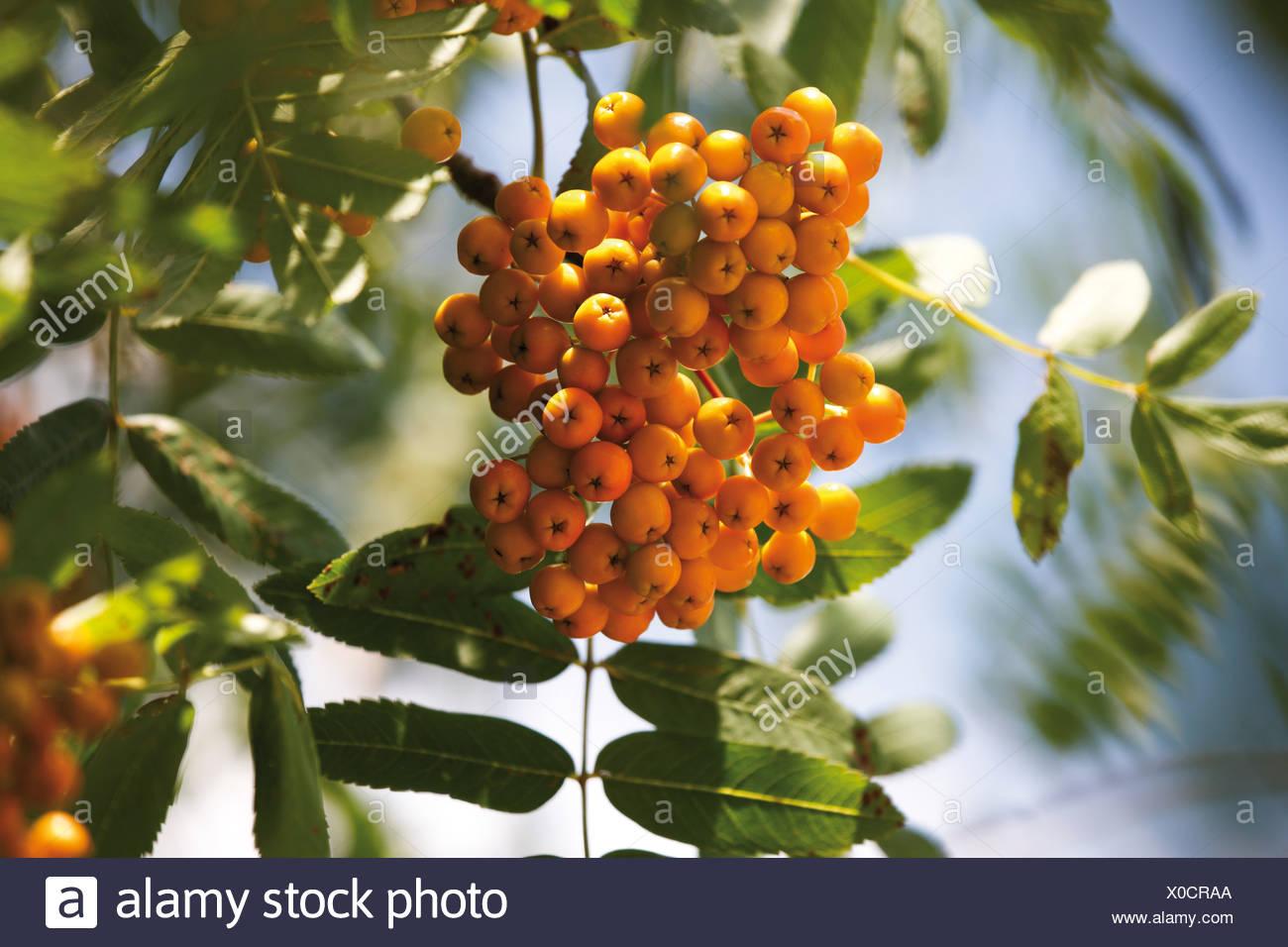 Yellow rowan berries of the rowan tree Stock Photo