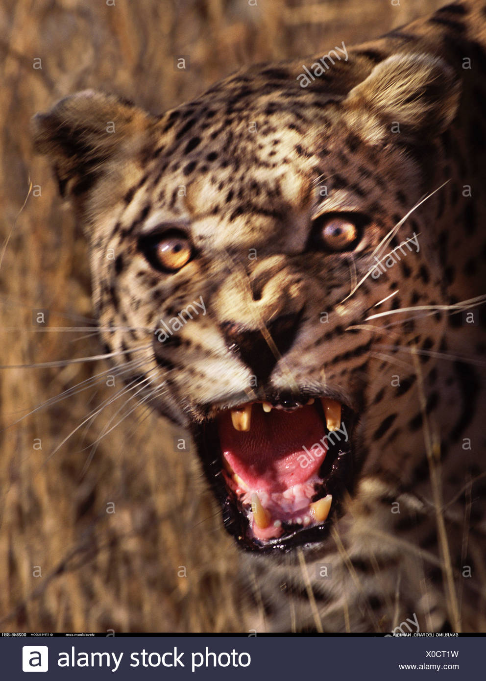 Snarling Leopard Namibia - Stock Image
