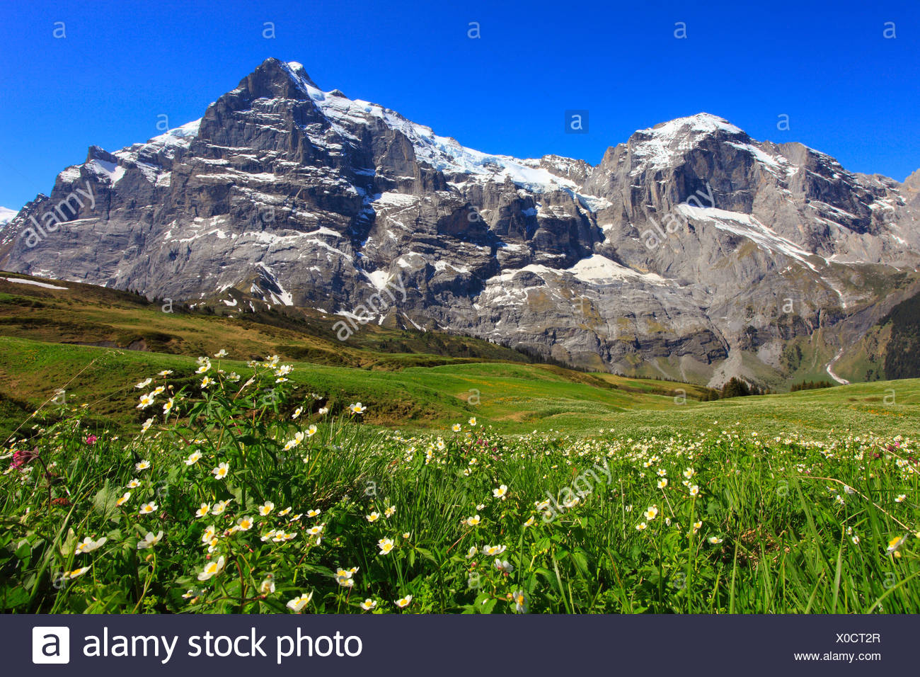 Alp, alps, flora, view, mountain, mountains, mountain flora, mountain spring, mountain massif, Bern, Bernese Oberland, flowers, - Stock Image