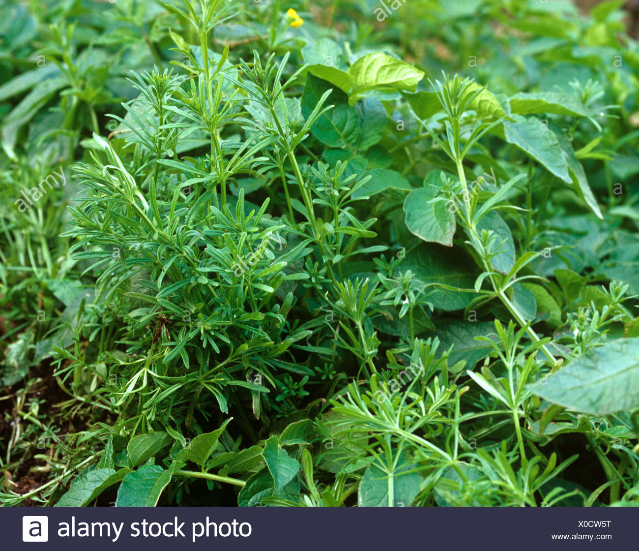 Cleavers Galium aparine, annual arable weed in a maturing potato crop - Stock Image