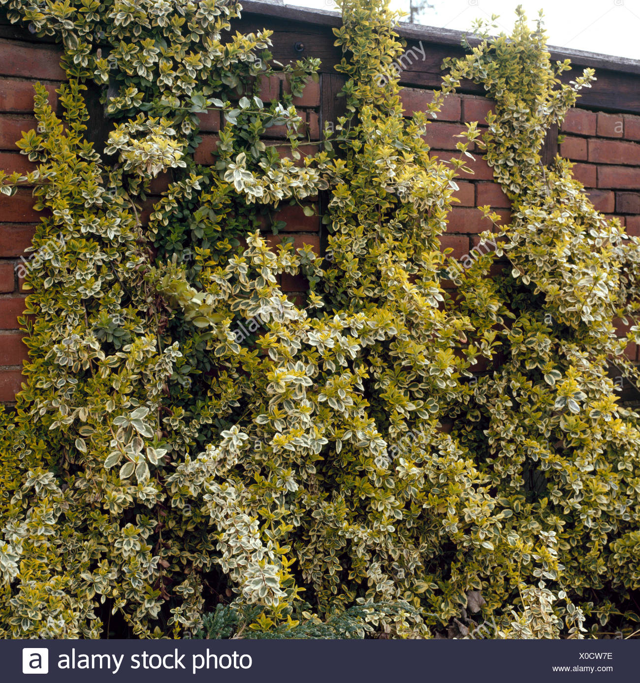 Euonymus fortunei - `Emerald `n' Gold'   TRS073165 - Stock Image
