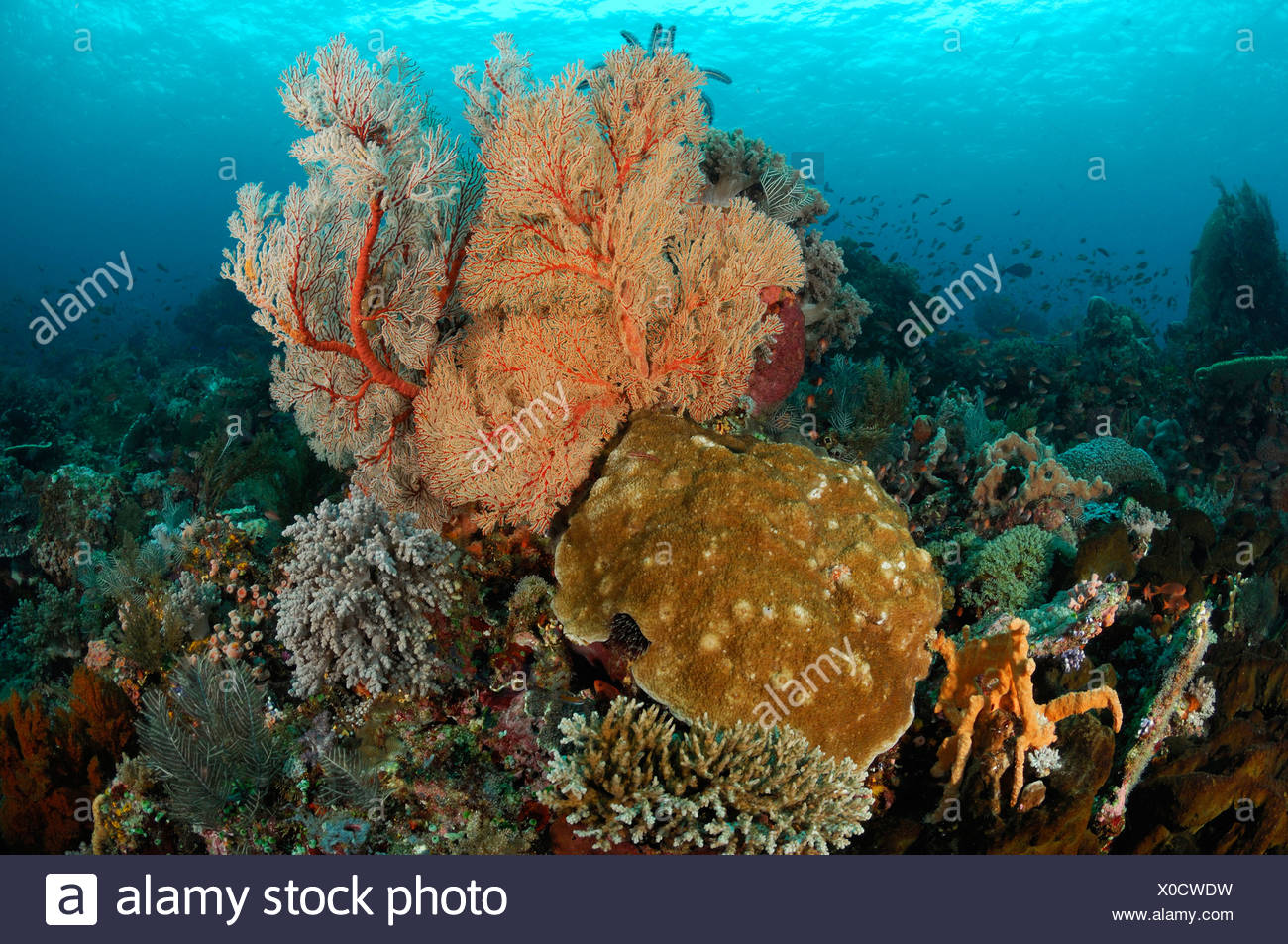 Colorful Coral Reef, Komodo, Indonesia - Stock Image