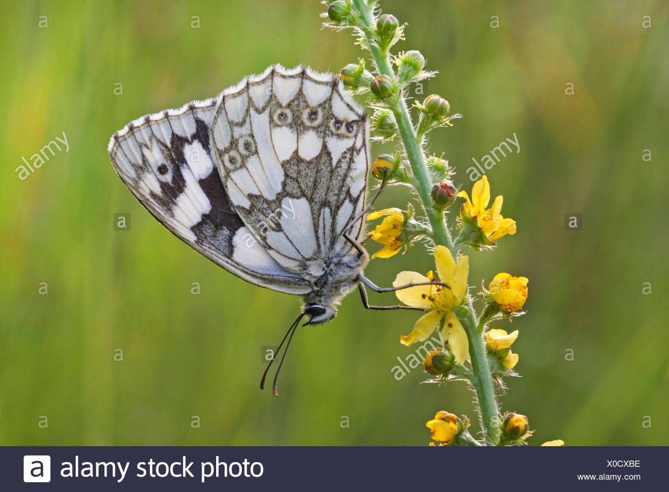 marbled white (Melanargia galathea), sitting on agrimony, Germany - Stock Image