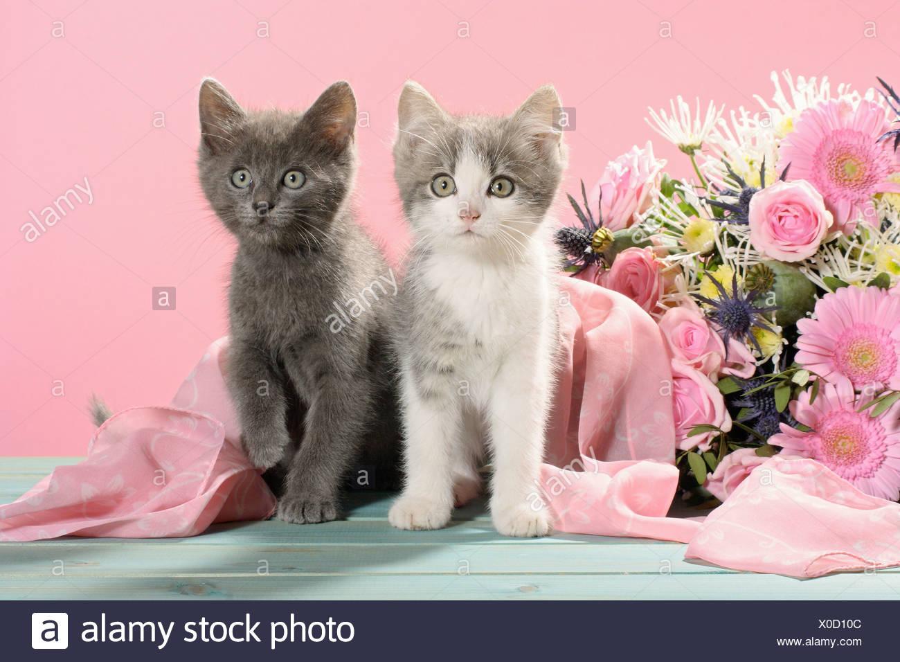 Cat Pink Rose Flower Stock Photos & Cat Pink Rose Flower Stock ...
