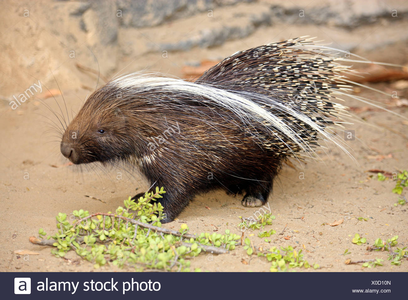 Cape Porcupine, South Africa / (Hystrix africaeaustralis) - Stock Image