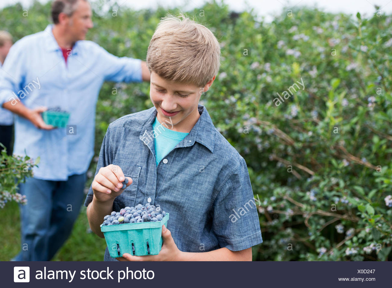 An organic fruit farm. A family picking the berry fruits from the bushes. - Stock Image