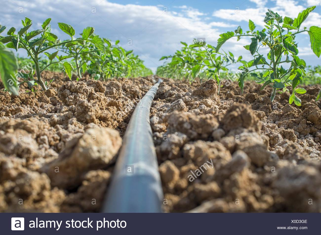 Young tomato plant growing with drip irrigation system. Ground level view. - Stock Image