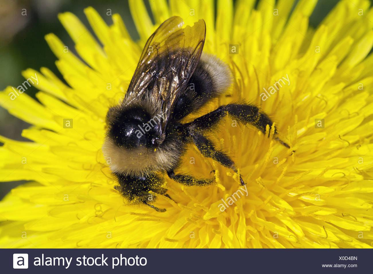Bombus sylvestris, Cuckoo Bumblebee - Stock Image