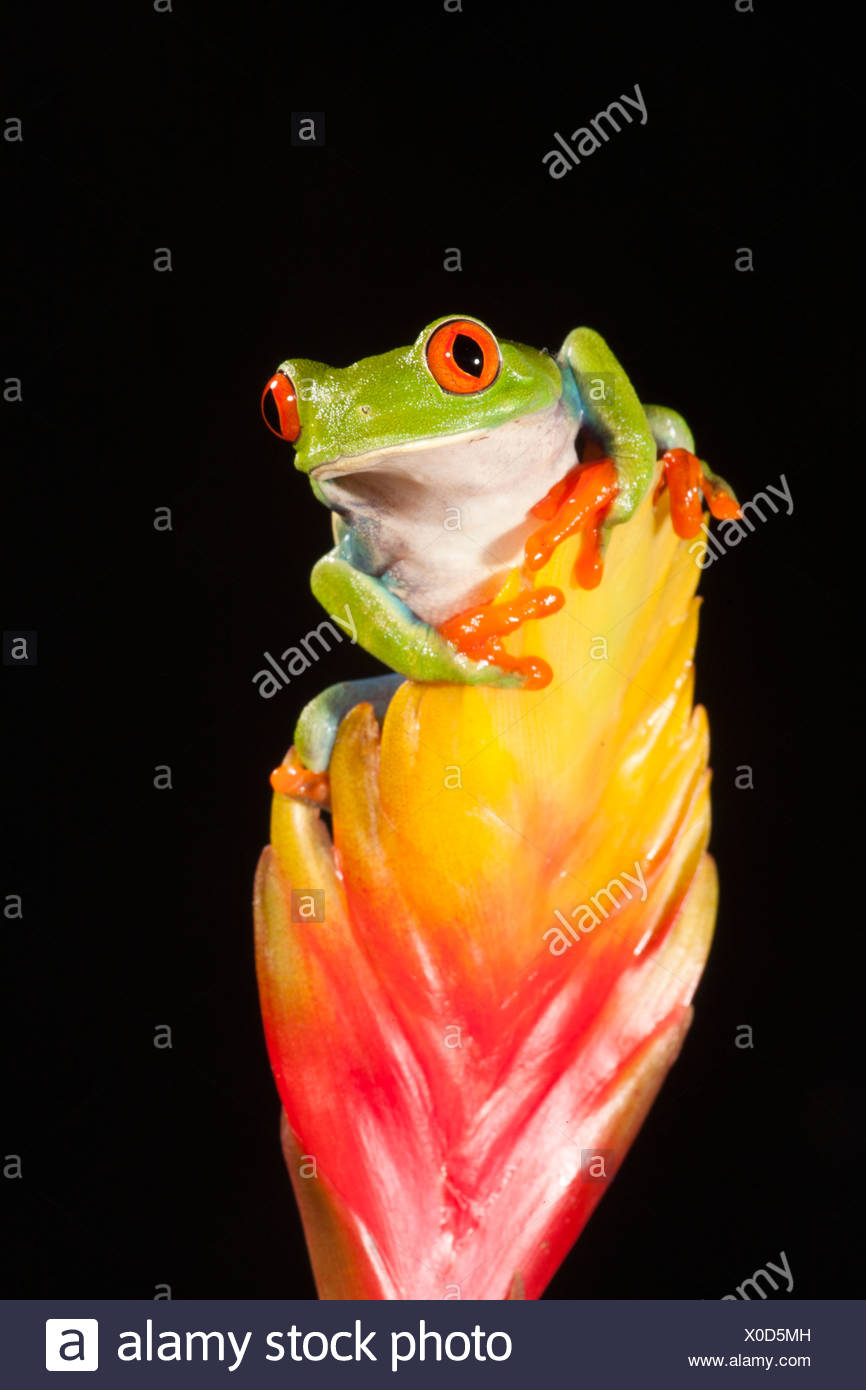 Red Eye Treefrog, Native to Central America; controlled situation (Agalychnis callidryas) - Stock Image