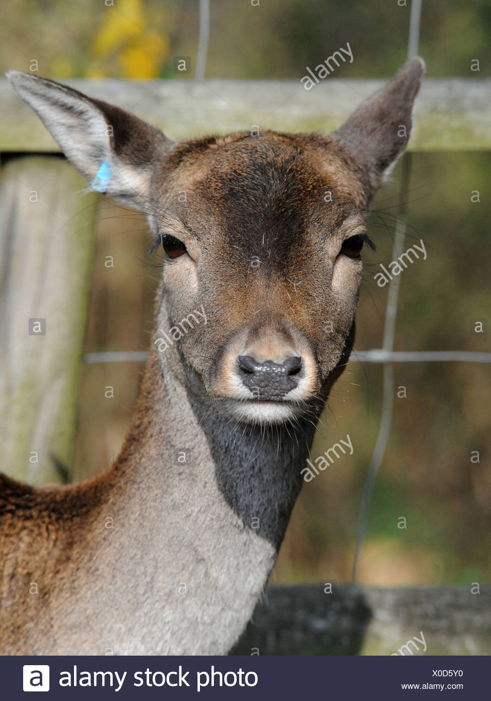 Wild deer in captivity with an ear tag. Stock Photo