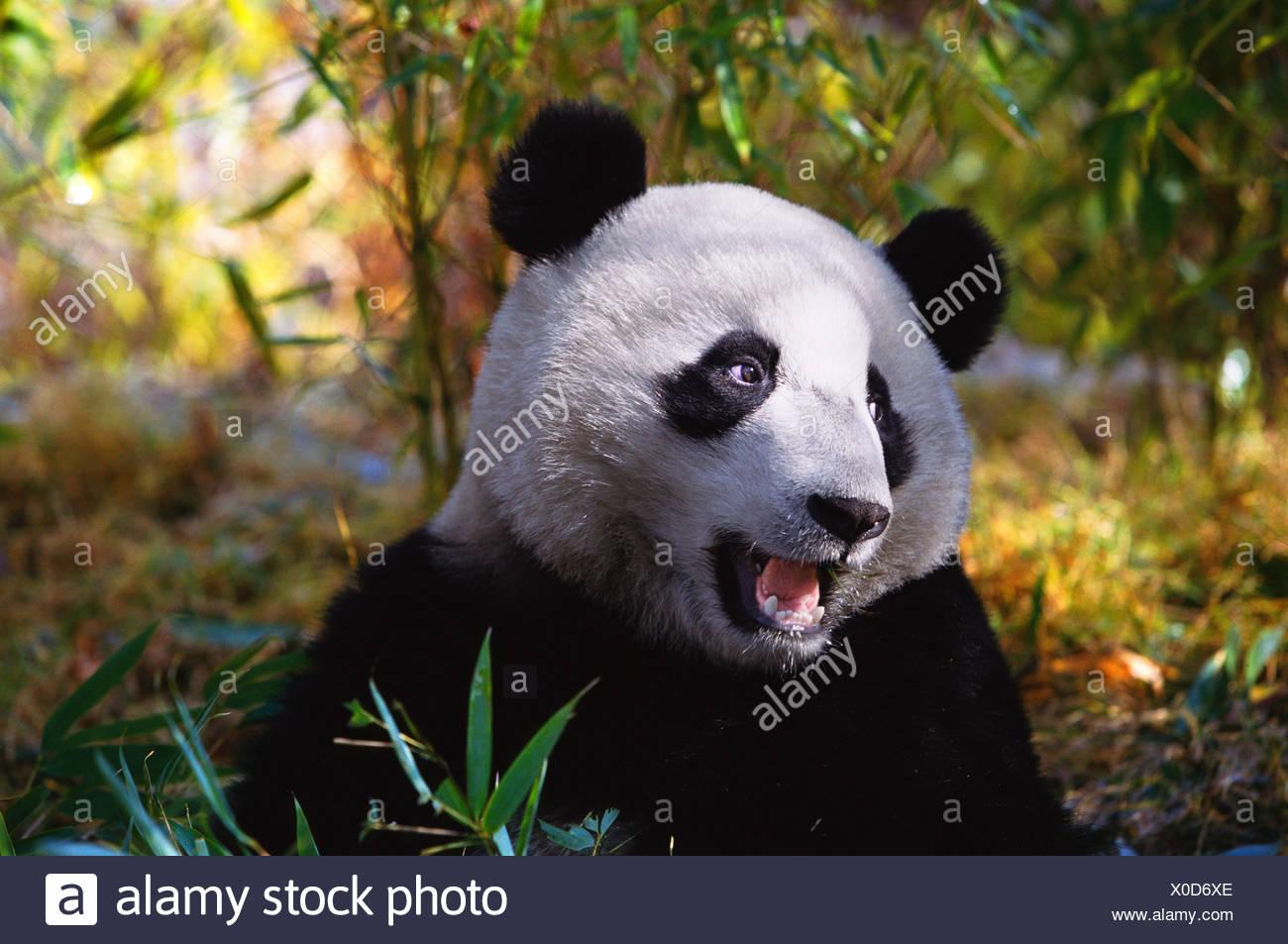 Giant panda Sichuan China - Stock Image