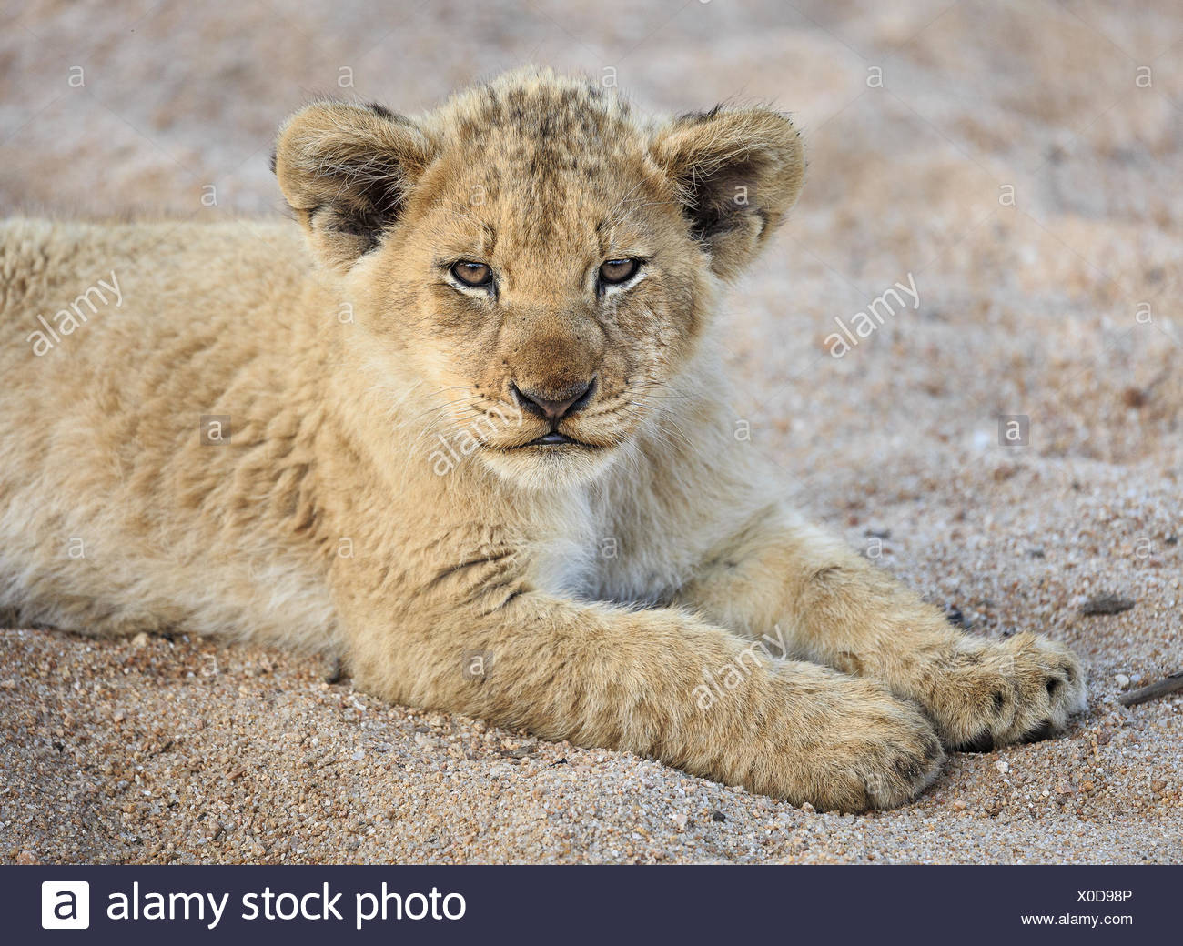 Portrait of a lion cub, Panthera leo, in a sandy riverbed. - Stock Image