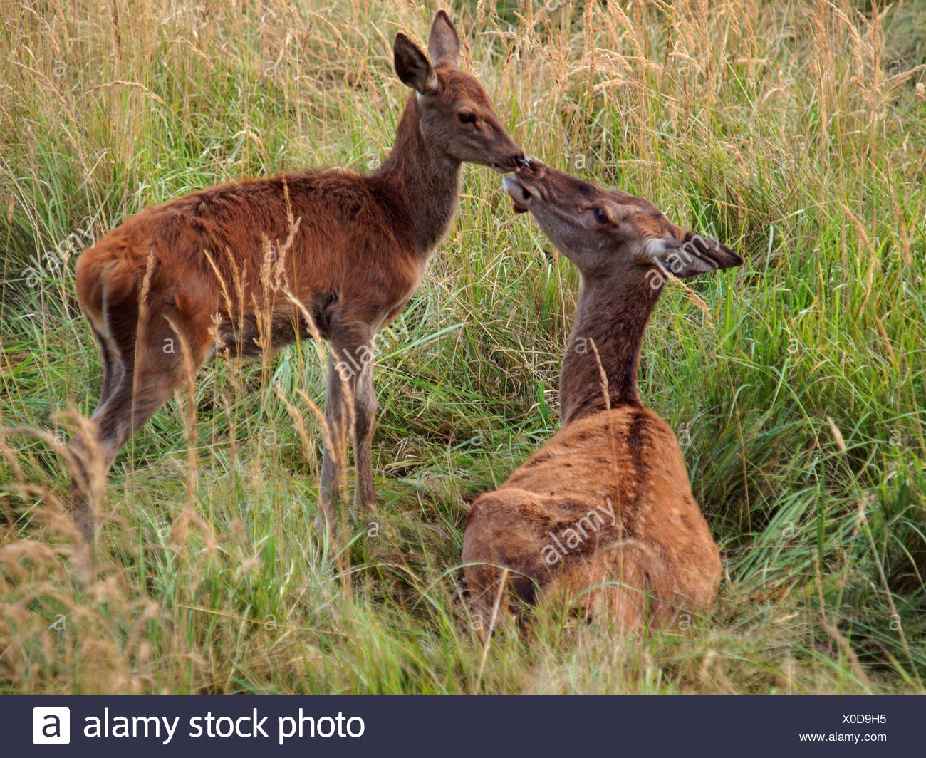 red deer (Cervus elaphus), female with calf, Germany Stock Photo