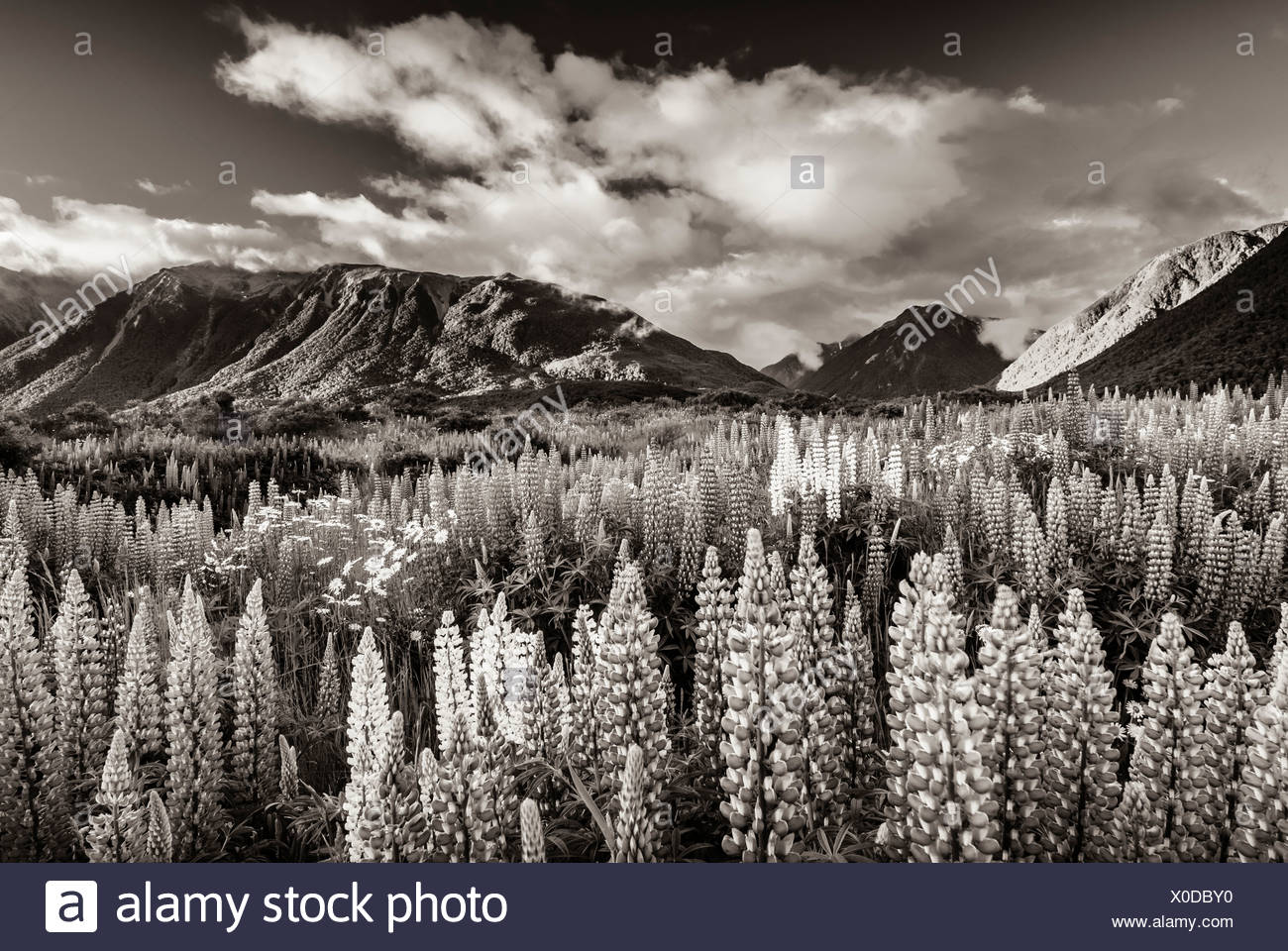 Lupins (Lupinus) at Arthur's Pass, black and white with a sepia tint, South Island, New Zealand, Oceania - Stock Image