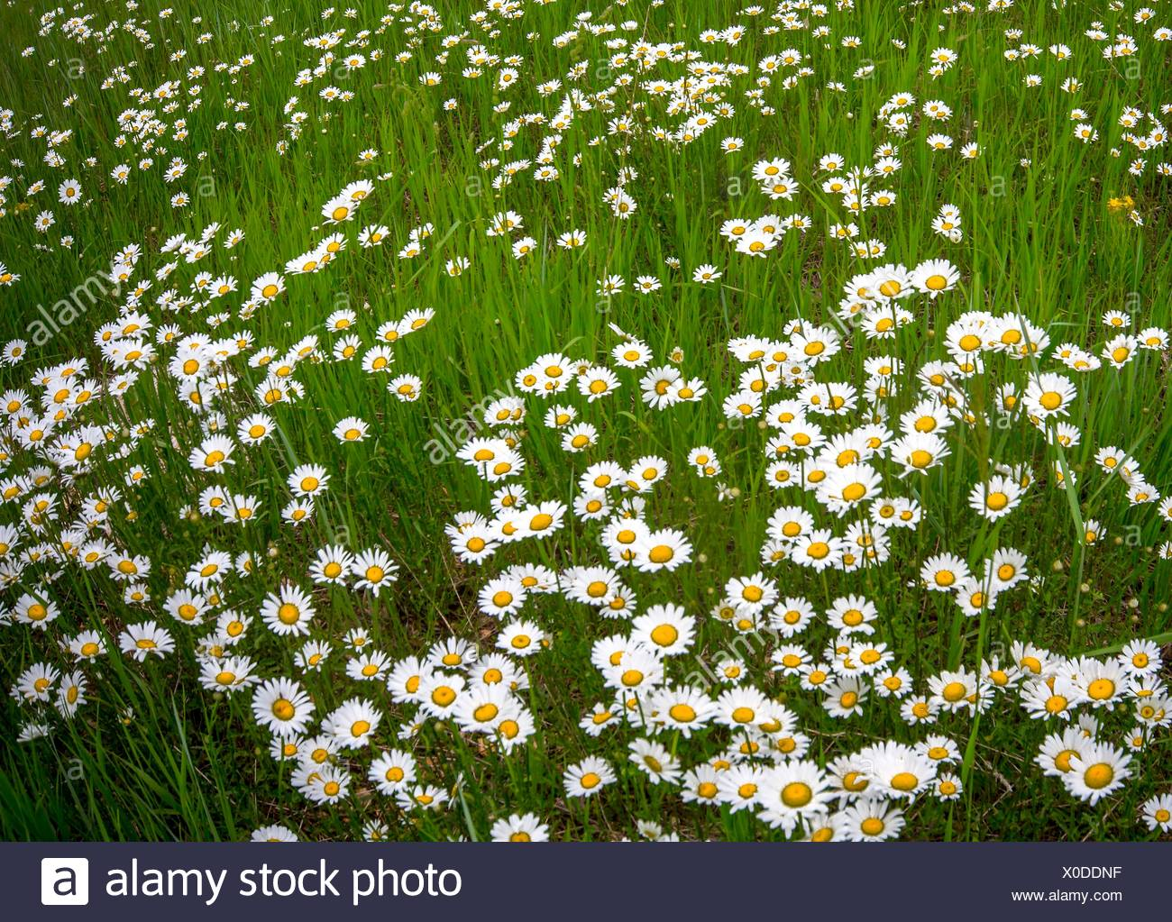 Wildflowers thrive in the summer at Kaibab National Forest, Arizona. - Stock Image