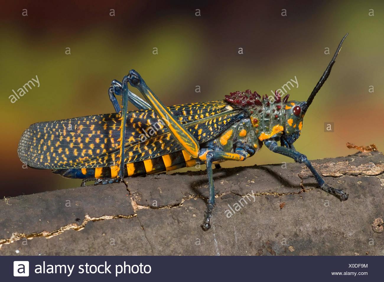 Grasshopper (Phymateus saxosus), on a branch - Stock Image