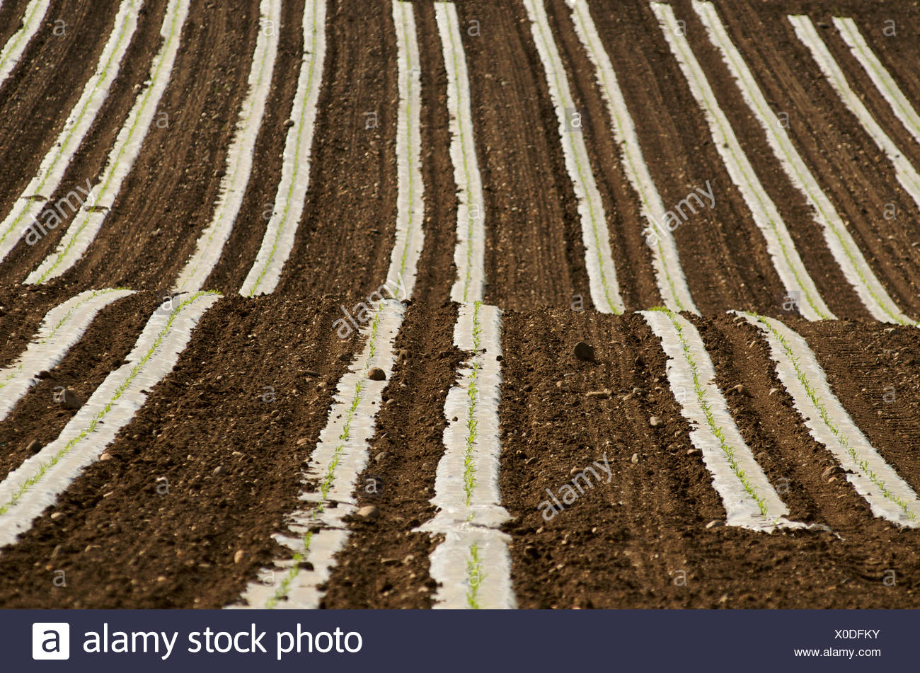 Sunflower (Helianthus annuus) seedlings in a field, Limagne, Auvergne, France, Europe Stock Photo