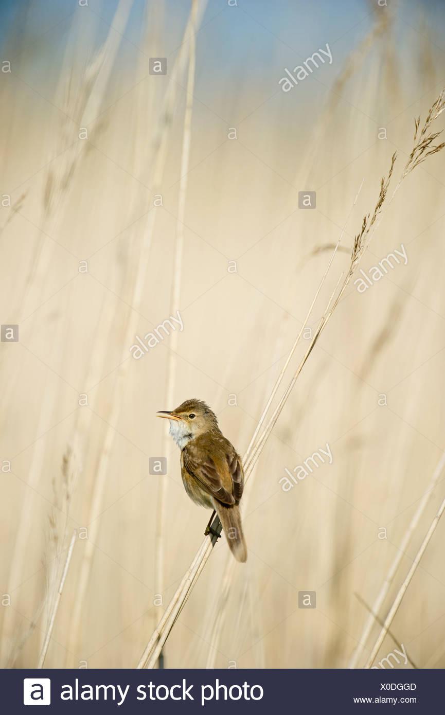 Reed Warbler in song in reed bed in Norfolk Broads spring - Stock Image