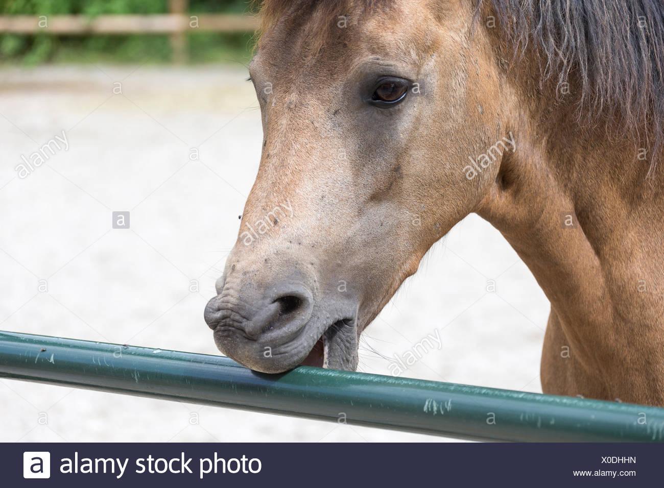 Pony cribbing at fence - Stock Image