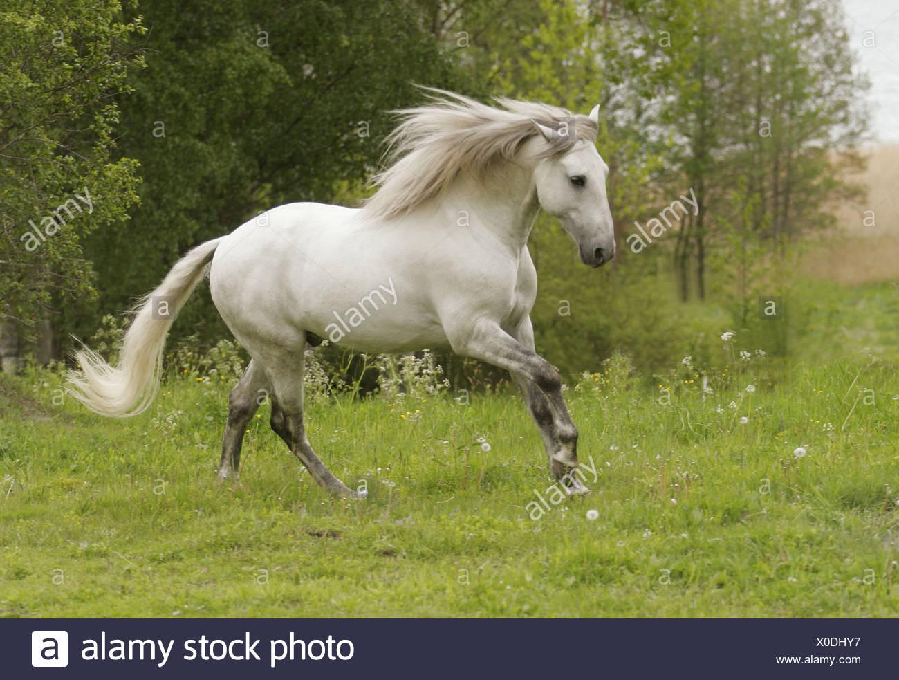 Lusitano horse running. Sweden - Stock Image