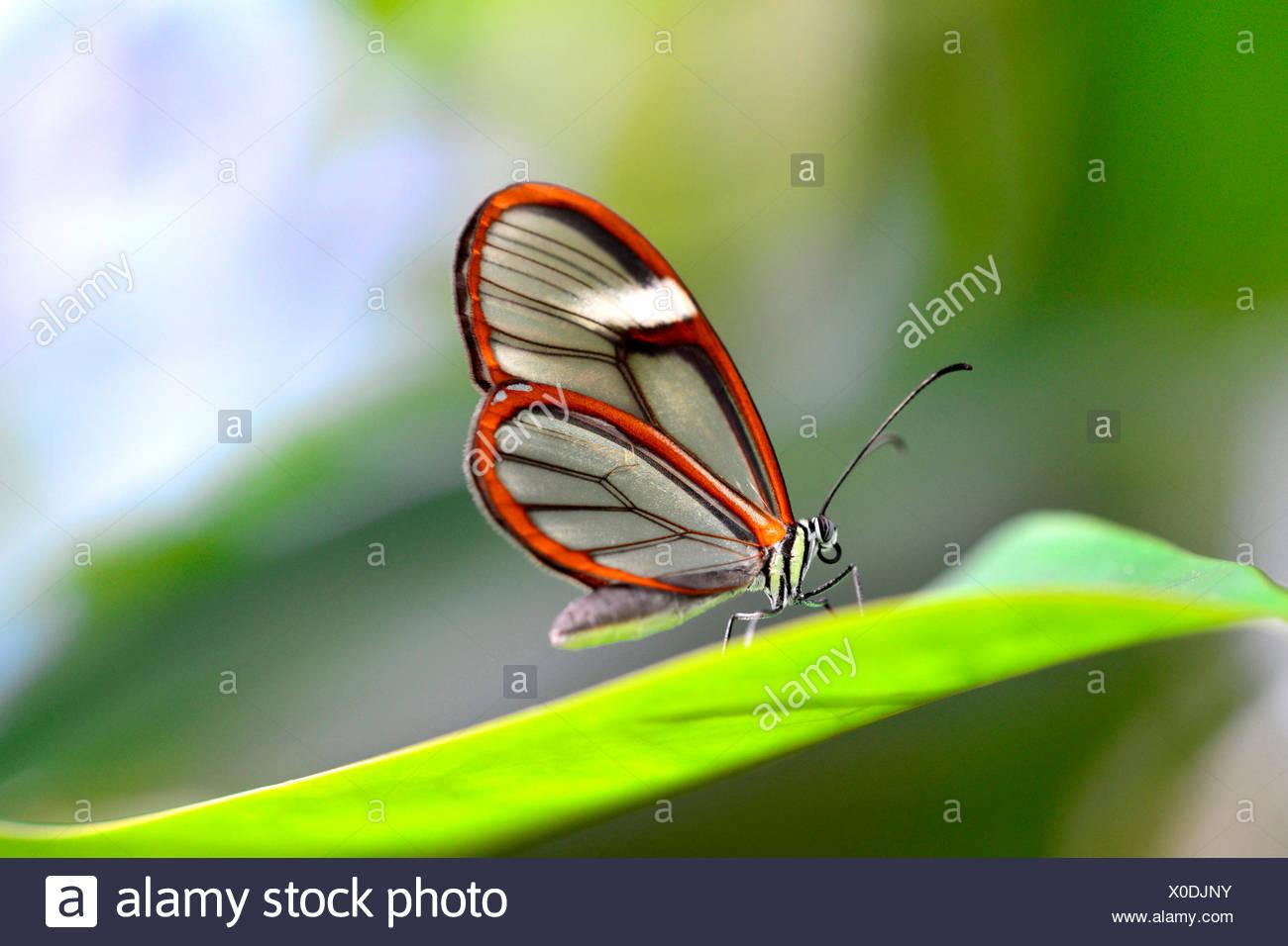 Glasswinged Butterfly Greta Oto On A Leaf Stock Photo 275665991