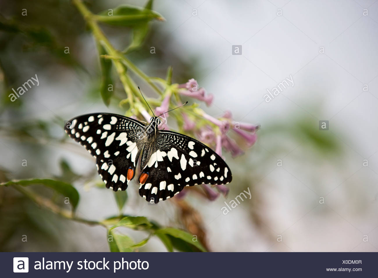 A Lime butterfly, Papilio Demoleus malayanus on a pink flower Stock Photo