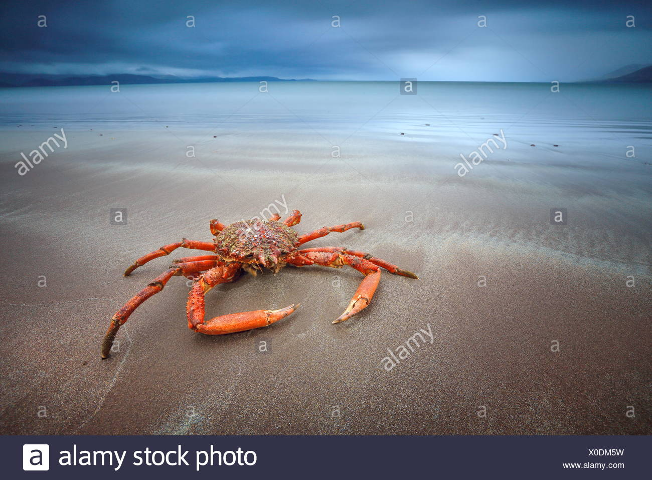 Ireland, Kerry, Rossbeigh beach, Crab - Stock Image