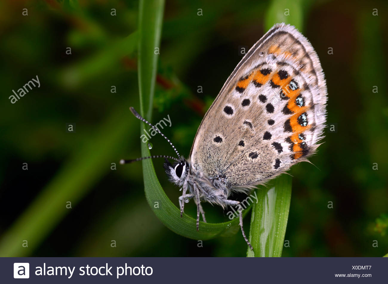 Common blue, Polyommatus icarus - Stock Image
