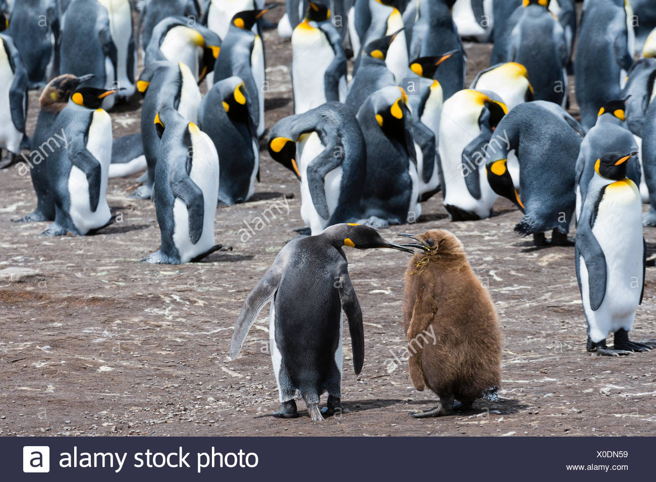King penguins, Aptenodytes patagonica, mother and chick, in a colony. - Stock Image
