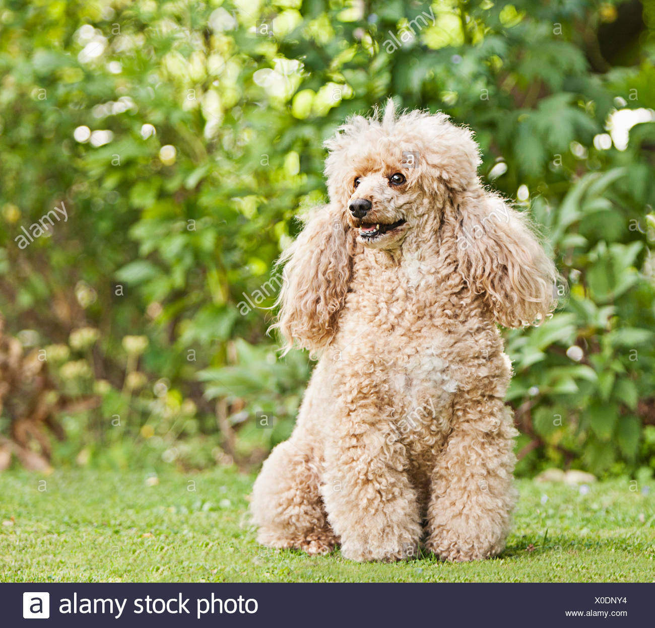 Apricot French Poodle in Garden - Stock Image