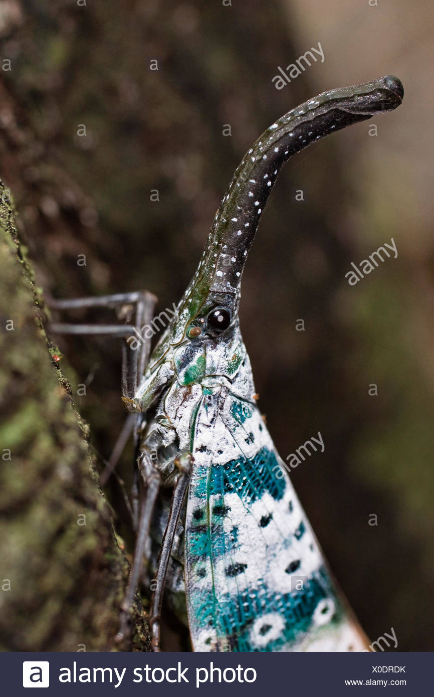 Lantern-bug (Pyrops spec), sitiing at a tree trunk in the rainforest, India, Andaman Islands Stock Photo
