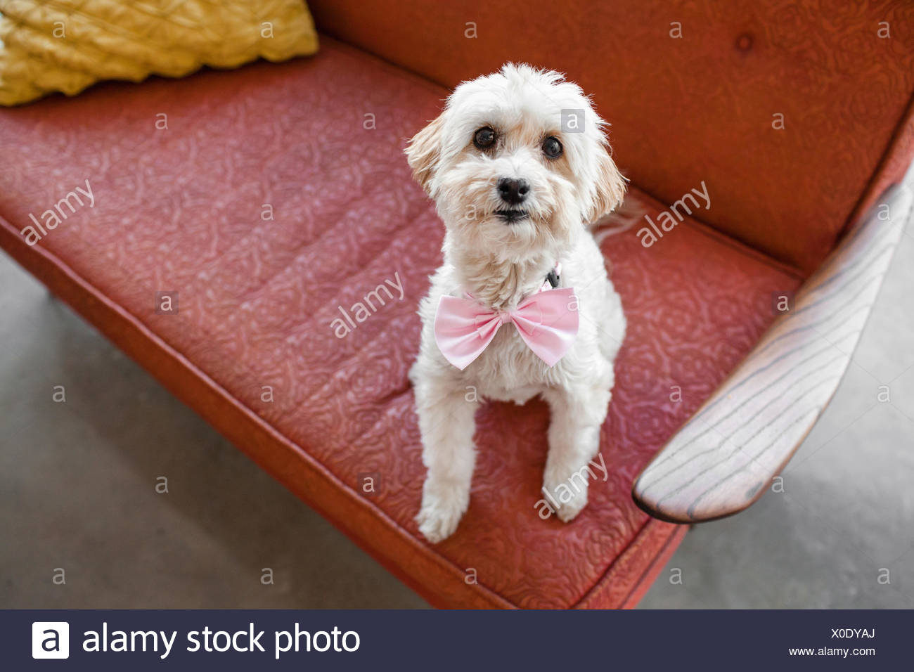 Portrait of cute dog sitting on living room sofa - Stock Image