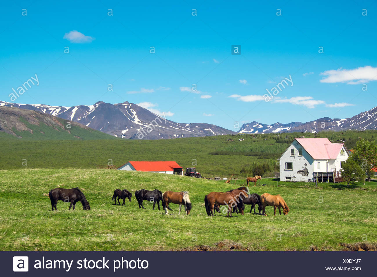 Typical icelandic farm with grazing icelandic hors Stock Photo