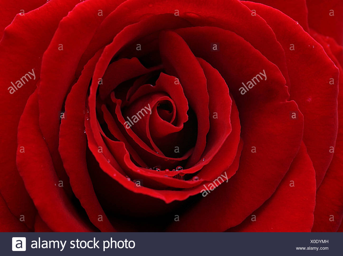Dark red rose with water drops - Stock Image