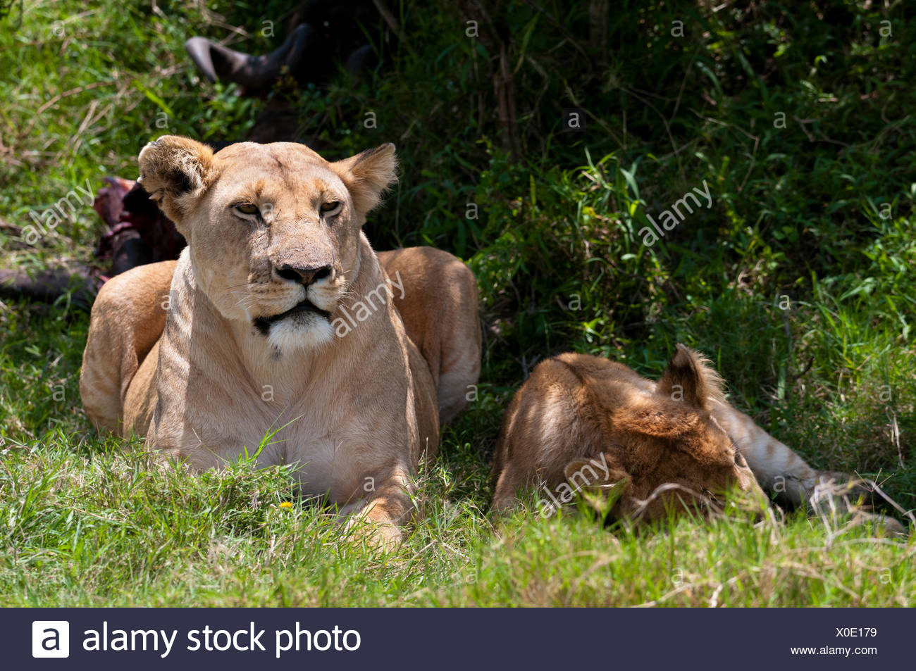 Lions (Panthera leo), Masai Mara, Rift Valley Province, Kenya Stock Photo