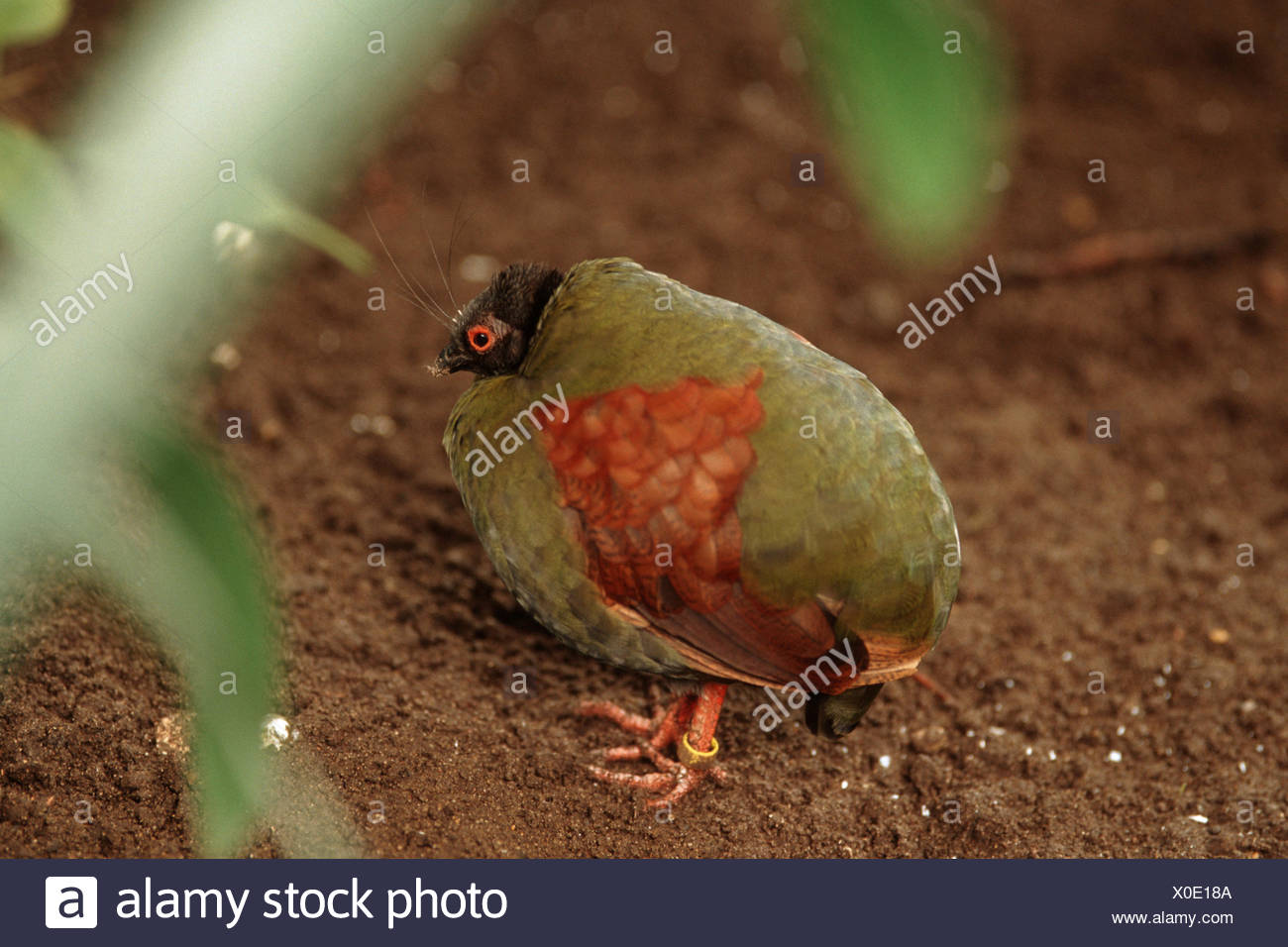 crested wood partridge (Rollulus roulroul), female sitting on the ground - Stock Image