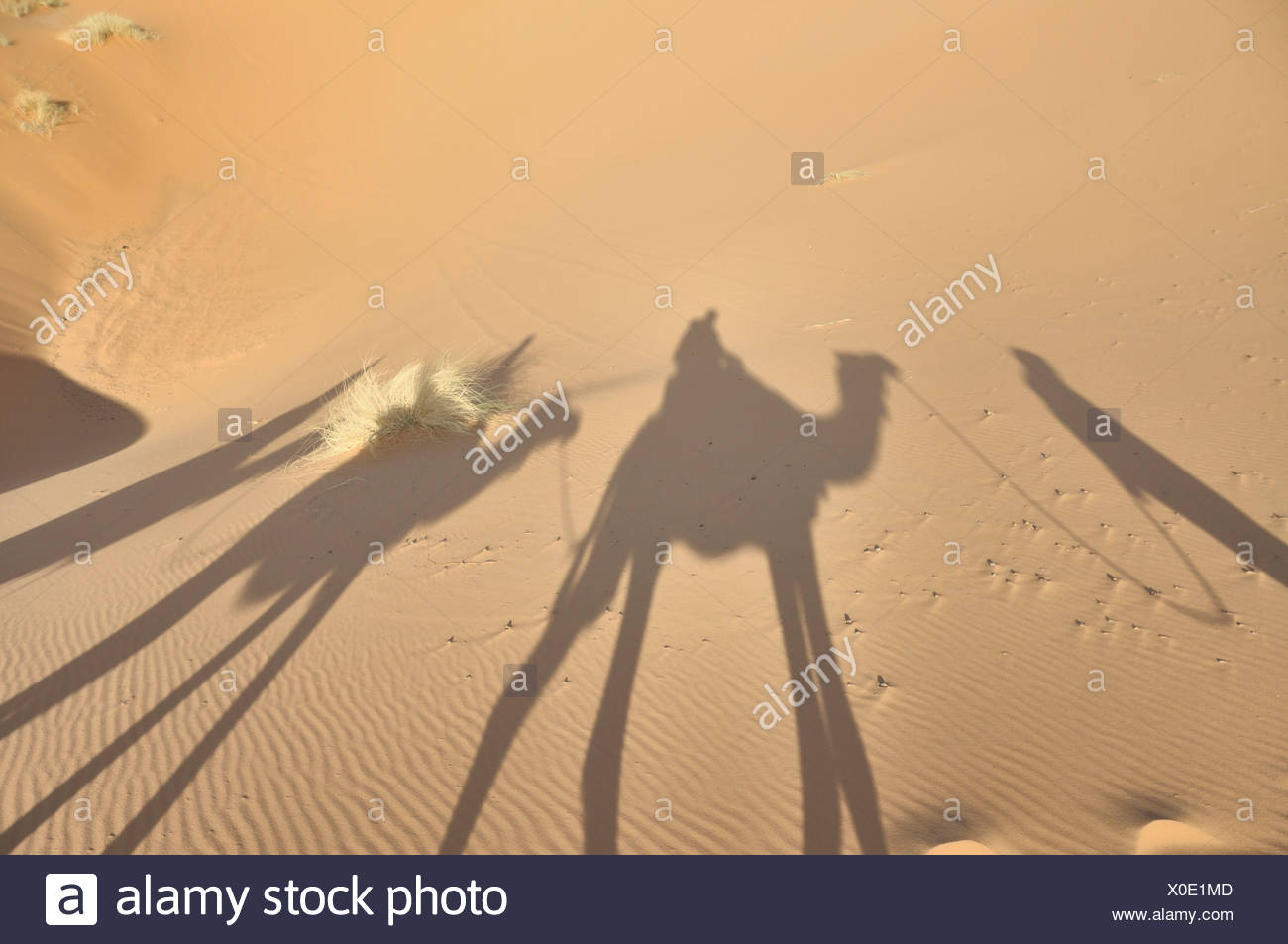 Dromedaries (Camelus dromedarius), desert trekking, Erg Chebbi, Morocco, Africa Stock Photo