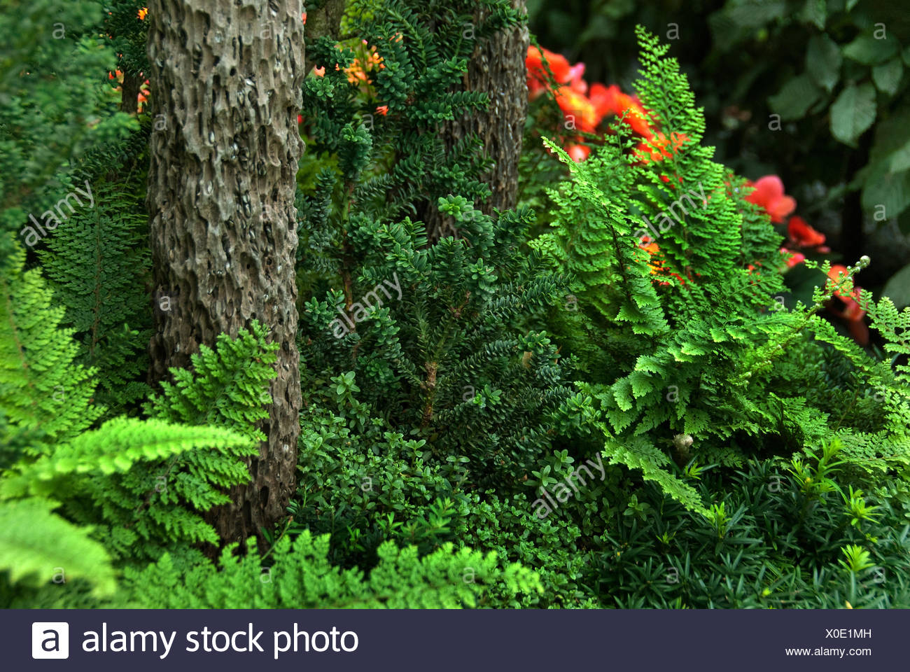 common yew (Taxus baccata 'Amersfoort', Taxus baccata Amersfoort), cultivar Amersfort - Stock Image