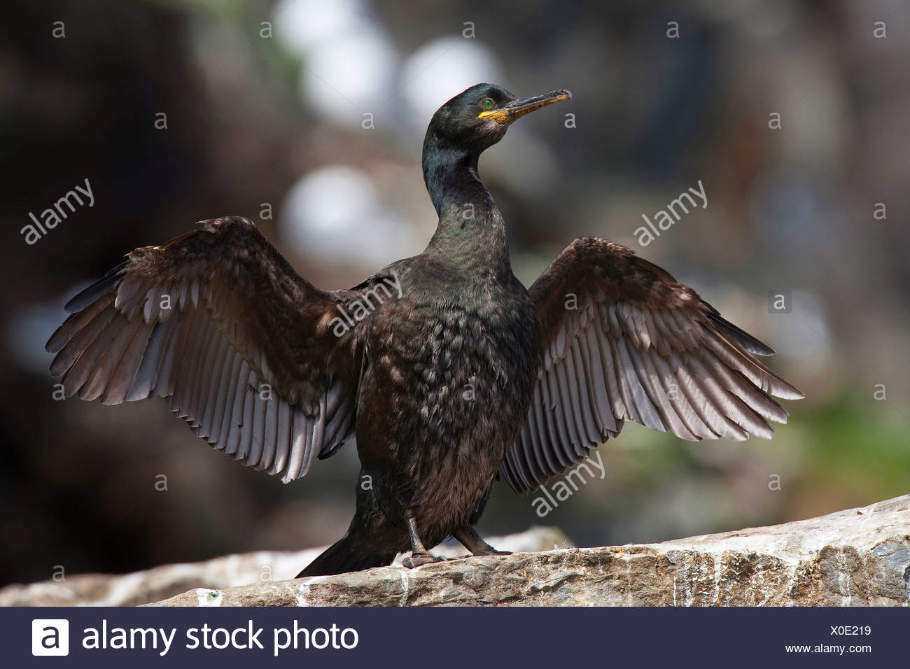 shag (Phalacrocorax aristotelis), drying its wings, Germany Stock Photo