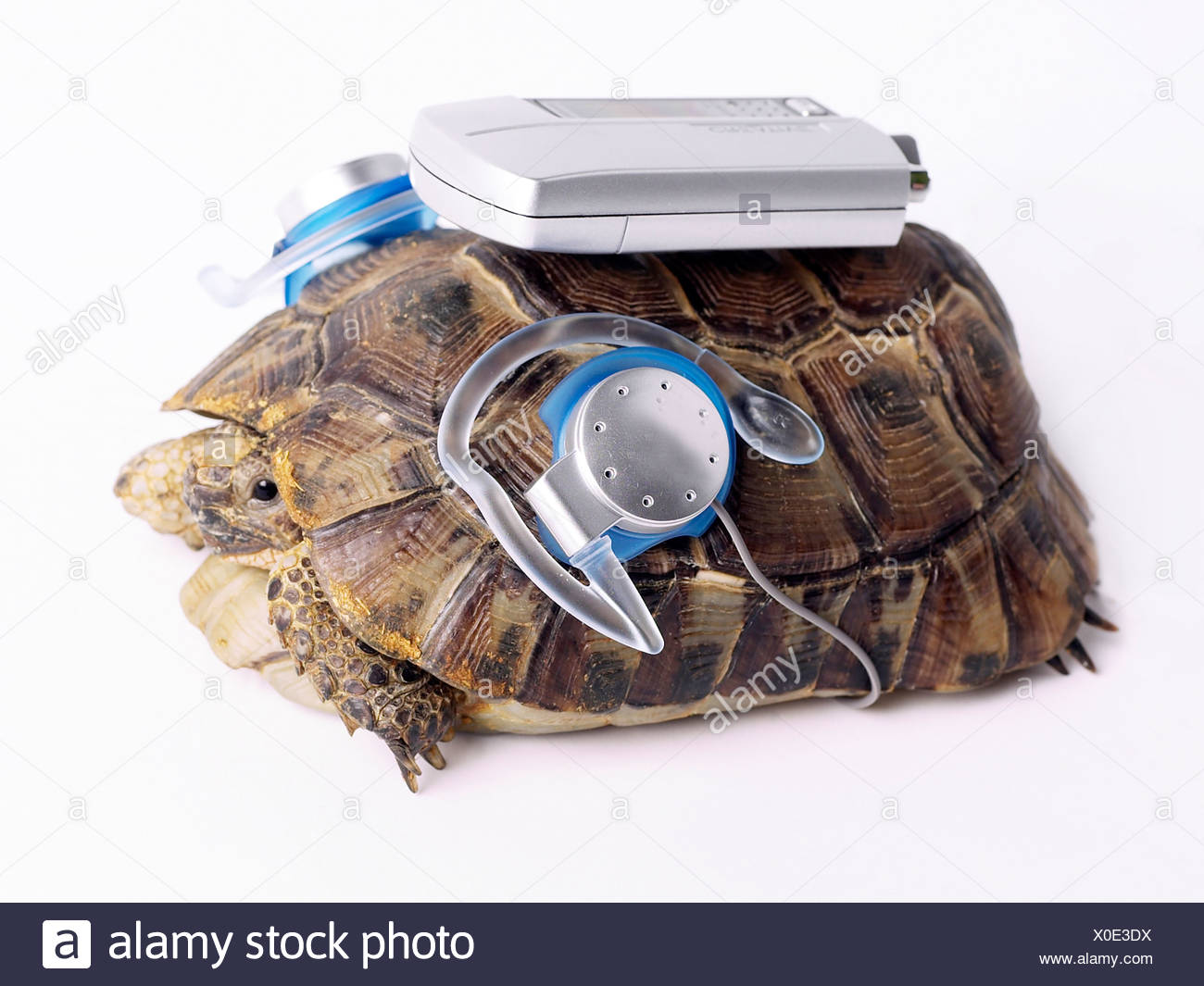 Tortoise with an MP3 player. - Stock Image