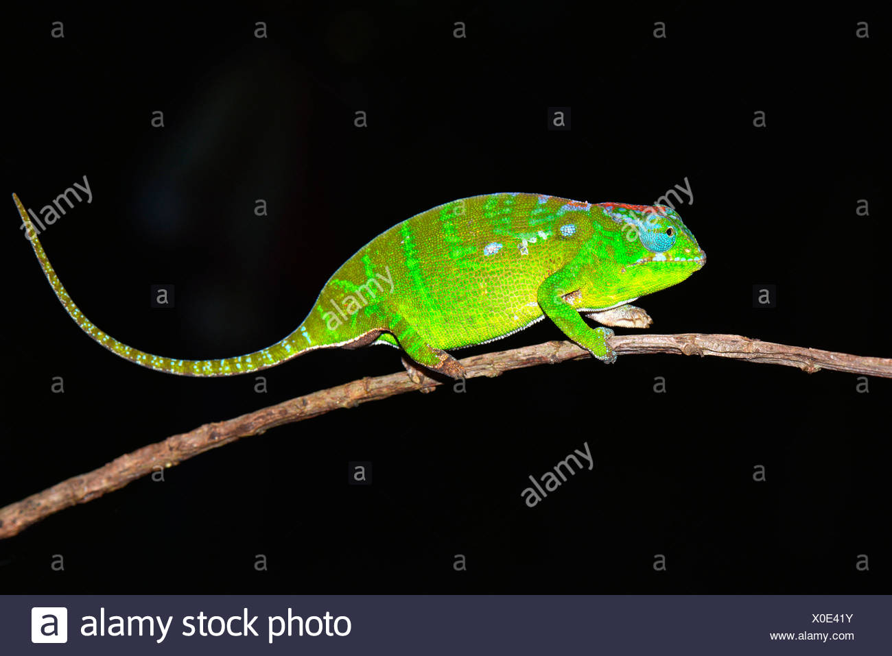 Petter's Chameleon (Furcifer petteri), female, coloured to indicate that it is pregnant - Stock Image