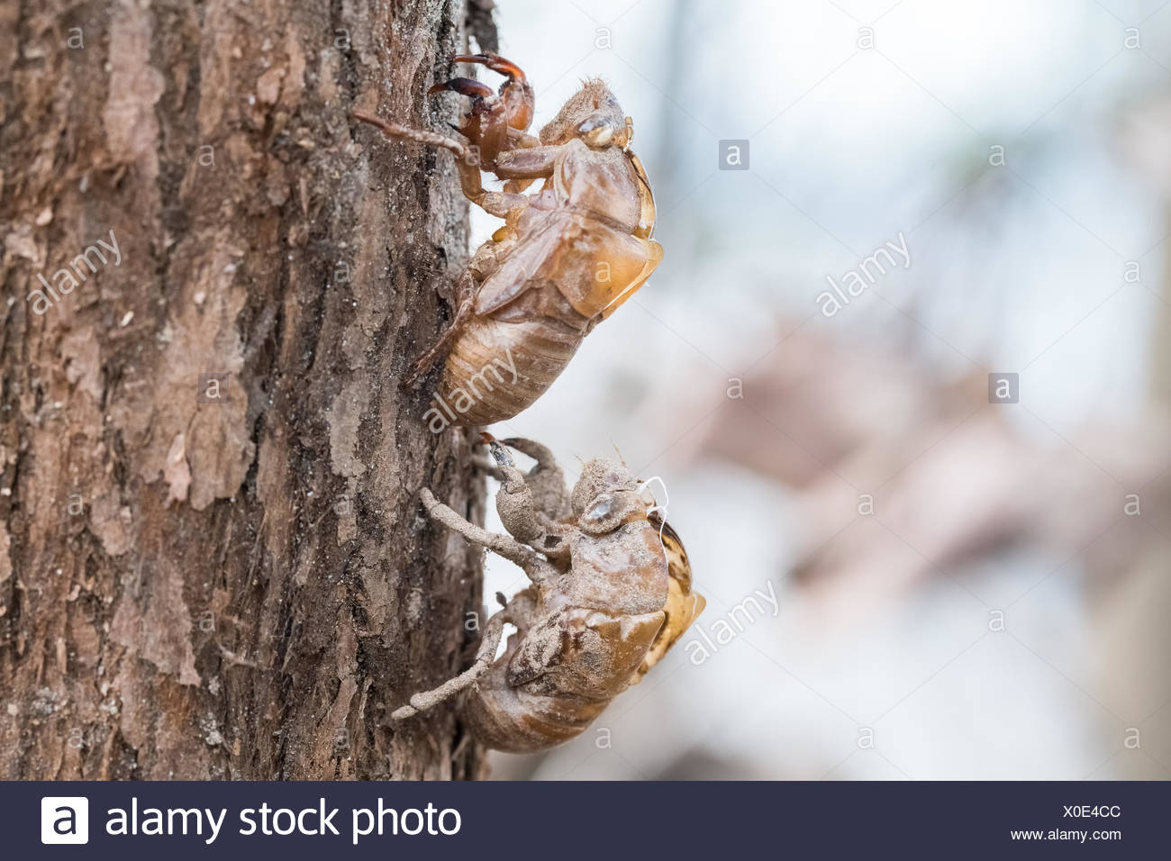 two cicada slough holding in the tree - Stock Image
