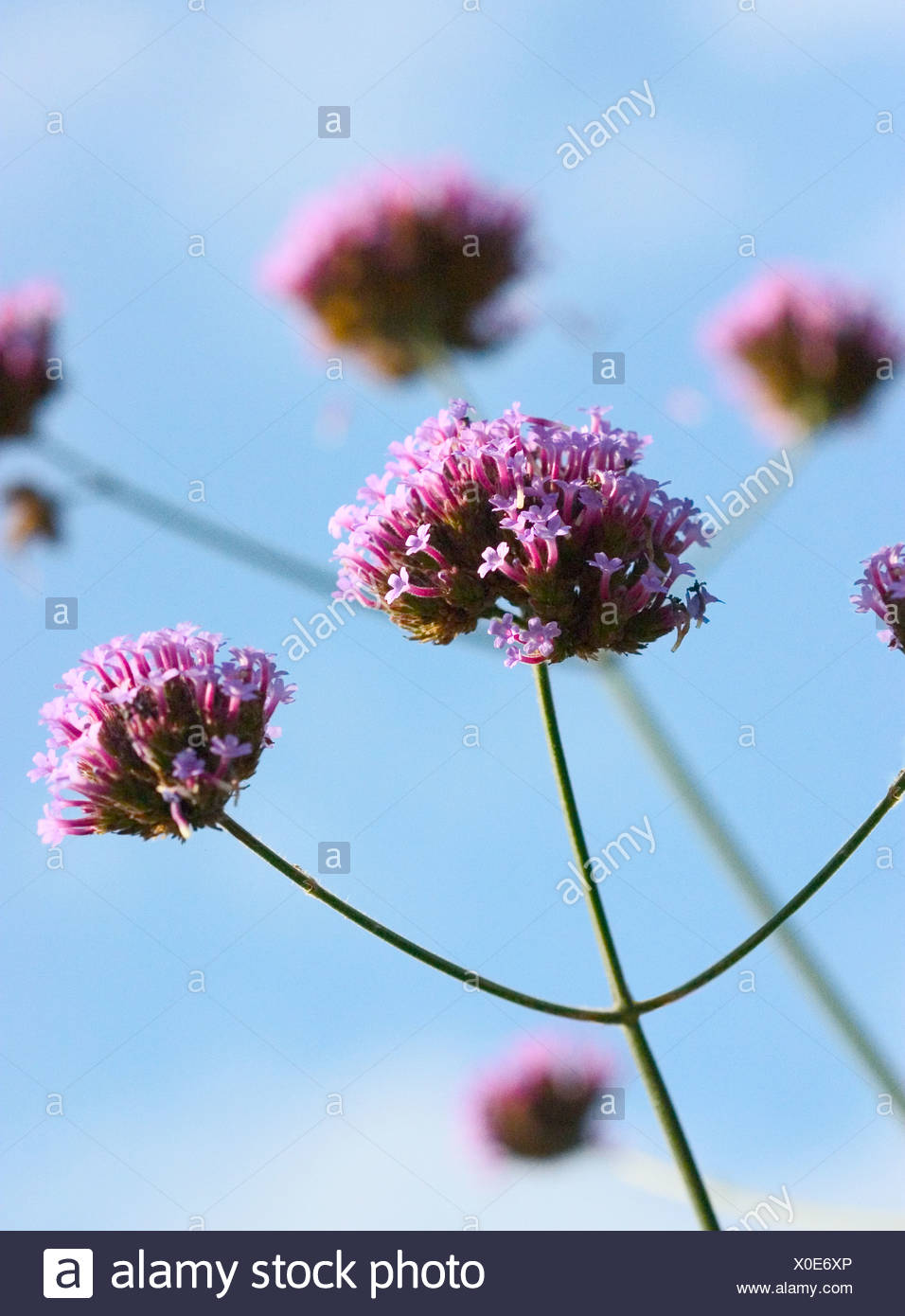 Verbena stems shot against blue sky - Stock Image